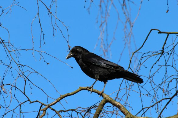 black-crow-bird-59850