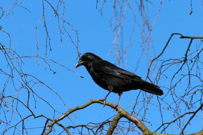 black-crow-bird-59850